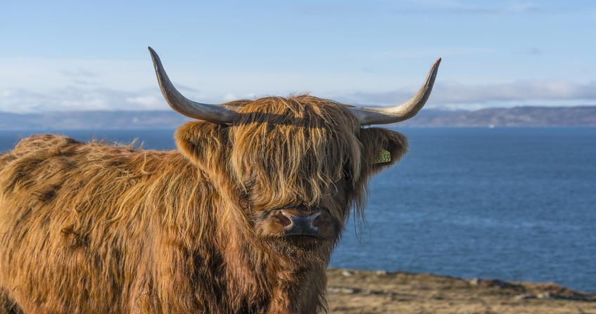 Hairy Highland Coo
