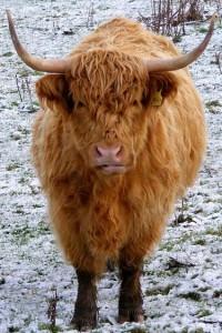 Mucca pelosa delle Highlands