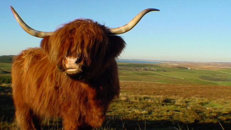 la vacca delle highlands