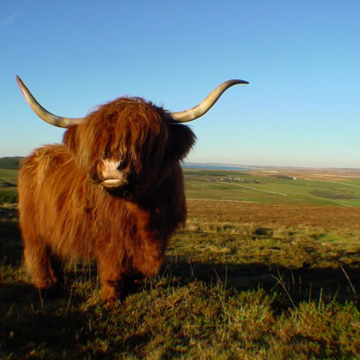 Hairy Coo vacca delle highlands