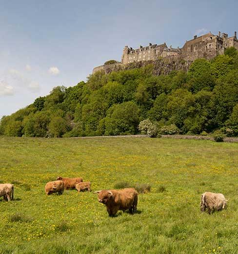 vacche-delle-highlands-al-castello-di-stirling